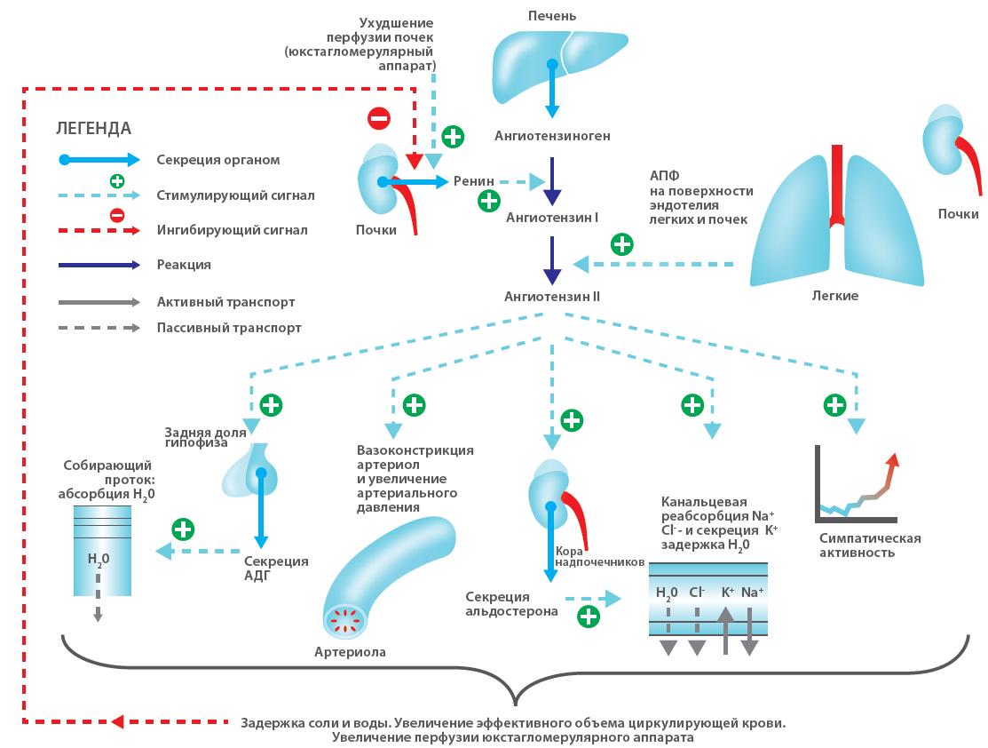 ренин ангиотензин альдостероновая система (РААС) кошек